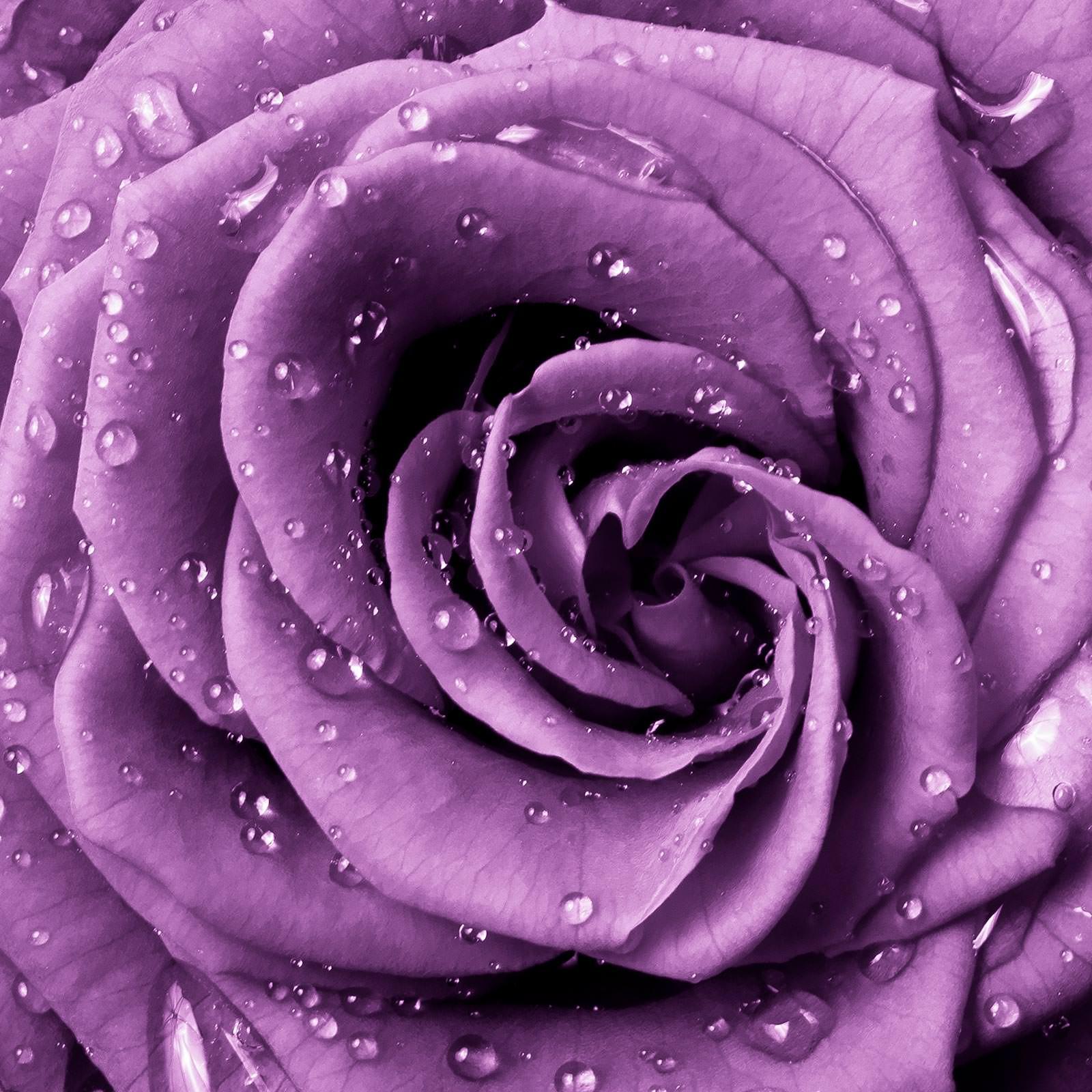 Фотообои фиолетовая роза с каплями в интерьере фото