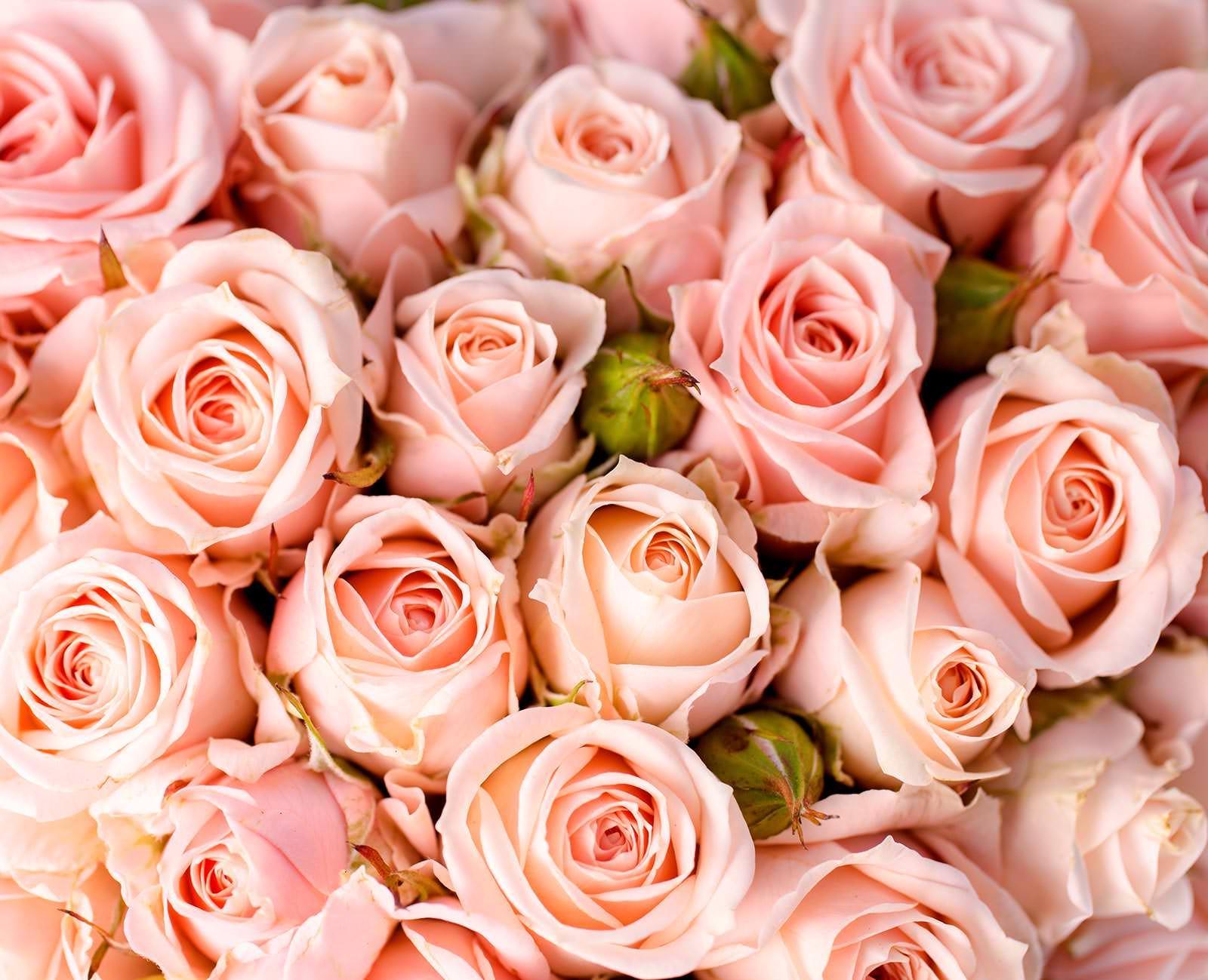 Language of Roses  Angelfire