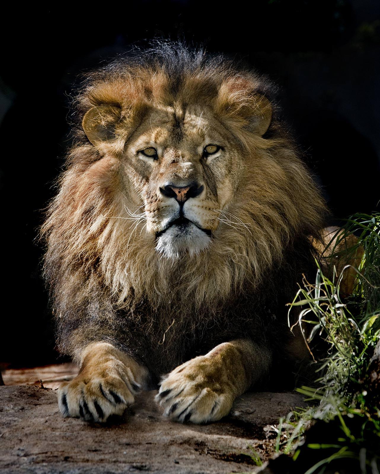 них, хорошая картинка льва если ходе