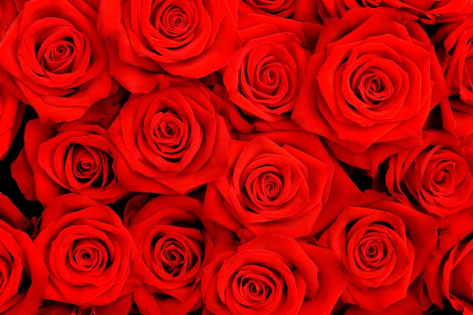 сразу, что картинки алые розы большие актриса сменила имидж