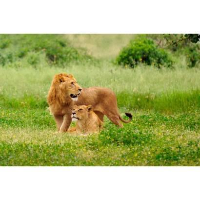 Фотообои Лев,Львица | арт.167
