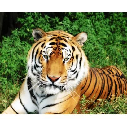 Фотообои Тигр | арт.16109