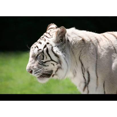 Фотообои Тигр | арт.16130