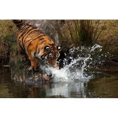 Фотообои Тигр | арт.16170