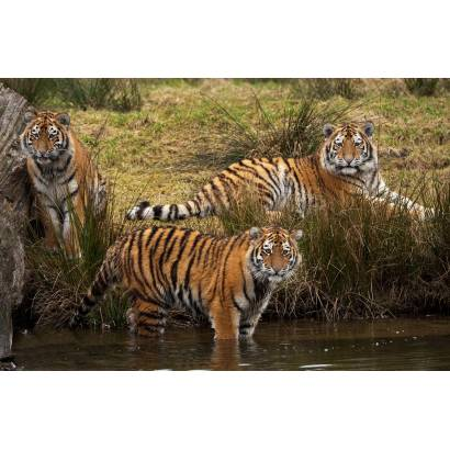 Фотообои Тигры | арт.16171