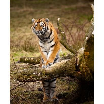 Фотообои Тигры | арт.16172