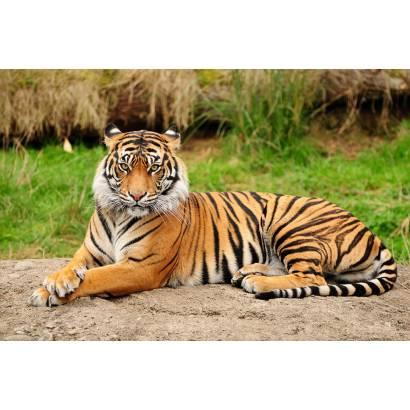 Фотообои Тигр | арт.16175