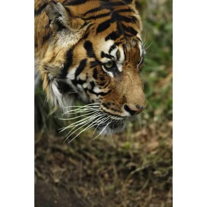 Фотообои Тигр | арт.16190