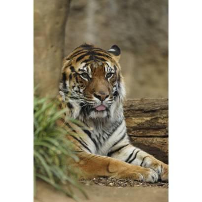 Фотообои Тигр | арт.16191