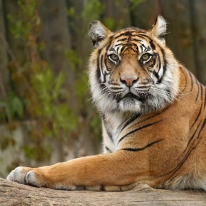 Фотообои Тигр | арт.16202
