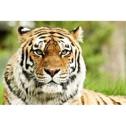 Фотообои Тигр | арт.16210
