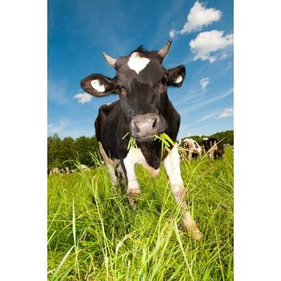 Фотообои Корова | арт.16217