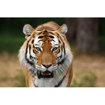 Фотообои Тигр | арт.16218