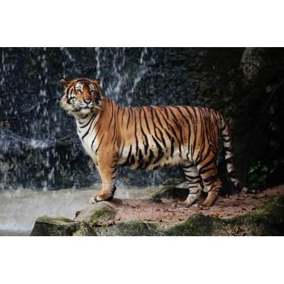 Фотообои Тигр | арт.16227