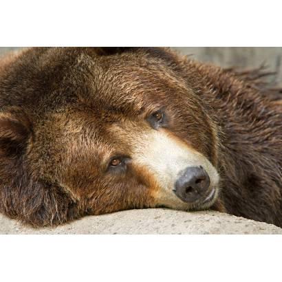 Фотообои Медведь | арт.16256