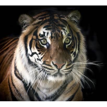 Фотообои Тигр | арт.16297