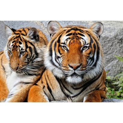 Фотообои Двое тигров | арт.16300