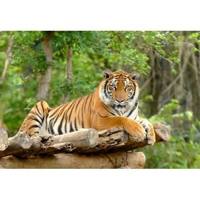Фотообои Лежащий тигр | арт.16306