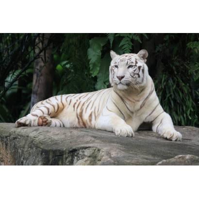 Фотообои Белый тигр | арт.16307