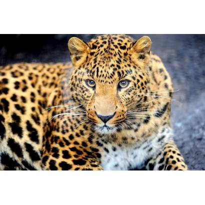Фотообои Леопард | арт.16321