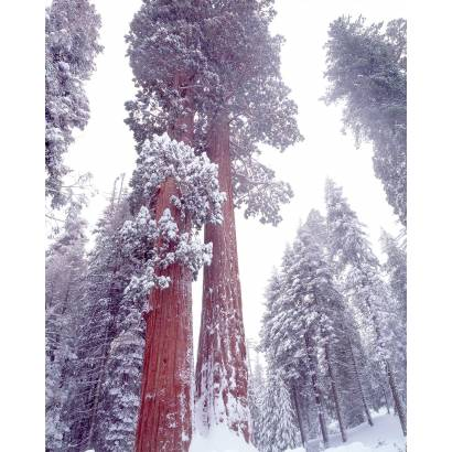Фотообои Зимний Лес | арт.23234