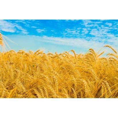Фотообои Пшеничное Поле | арт.23359