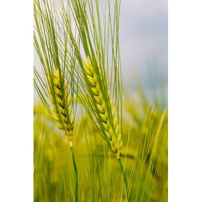 Фотообои Молодая Пшеница | арт.23382