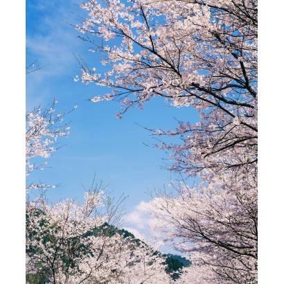 Фотообои Сакура | арт.2359