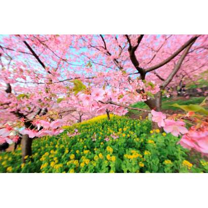 Фотообои Цветущая сакура | арт.23606