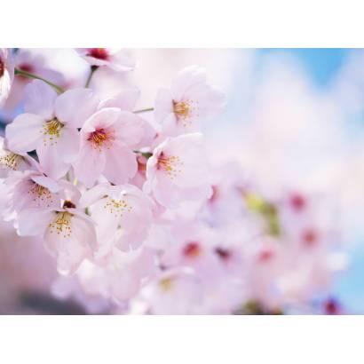 Фотообои Сакура | арт.28102