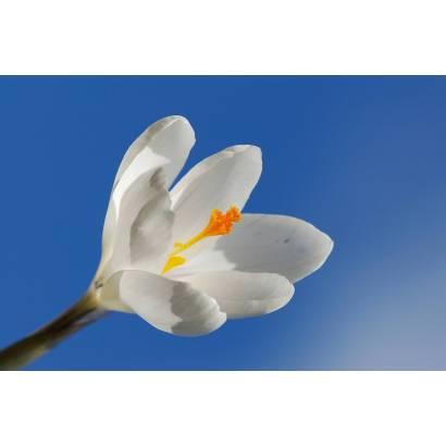 Фотообои Тюльпаны | арт.28122