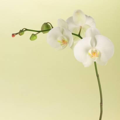 Фотообои Орхидея | арт.28144