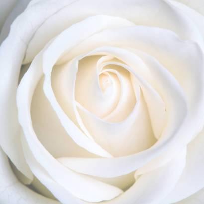 Фотообои Розы | арт.28153