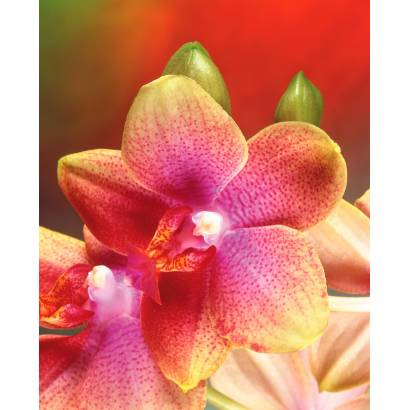 Фотообои Орхидея | арт.2819