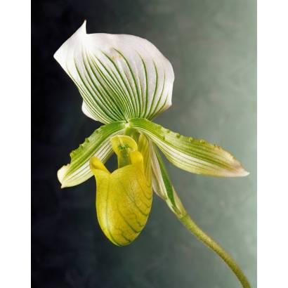 Фотообои Орхидея | арт.2821