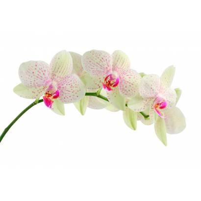Фотообои Орхидея | арт.28214