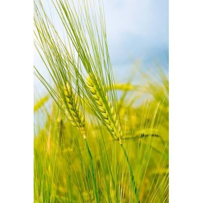 Фотообои Пшеница | арт.28249