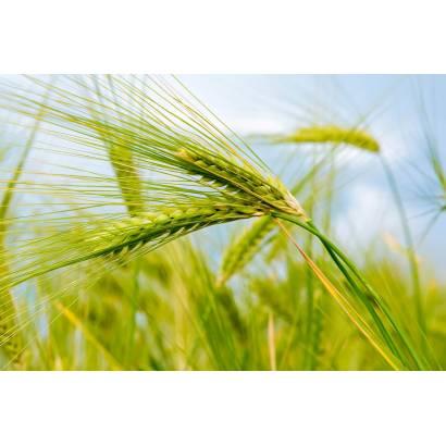 Фотообои Пшеница | арт.28250