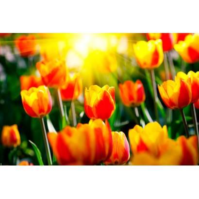 Фотообои Тюльпаны | арт.28267