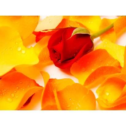 Фотообои Роза | арт.28276