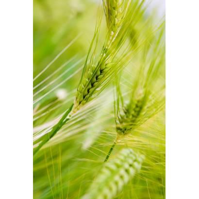 Фотообои Пшеница | арт.28278