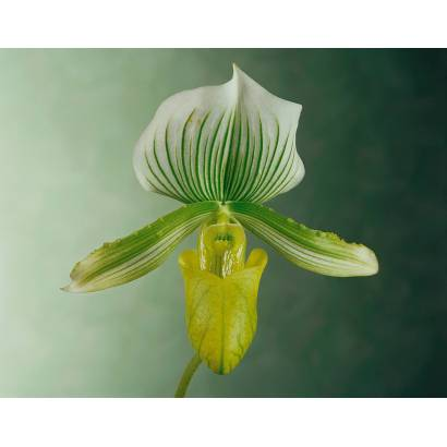 Фотообои Орхидея | арт.2828