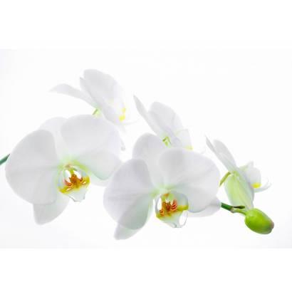 Фотообои Орхидея | арт.28281