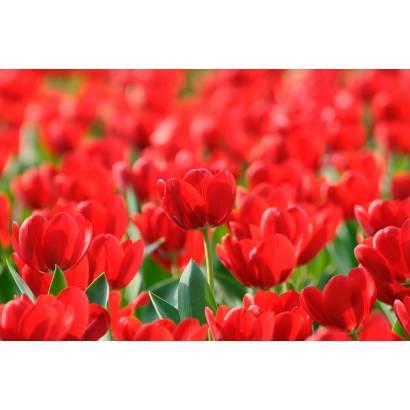 Фотообои Тюльпаны | арт.28310