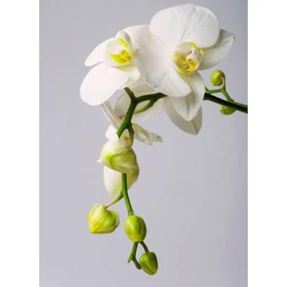 Фотообои Орхидея | арт.28322