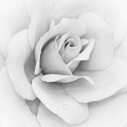 Фотообои Роза | арт.28333