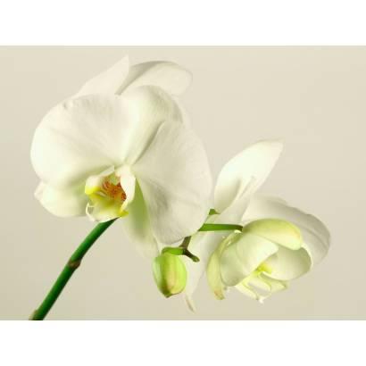Фотообои Орхидея | арт.28356