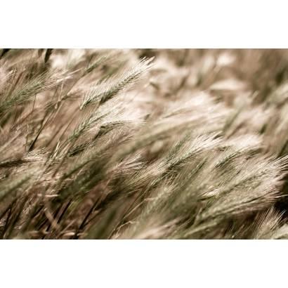 Фотообои Пшеница | арт.28391