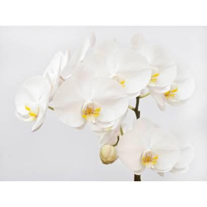 Фотообои Орхидея | арт.28399
