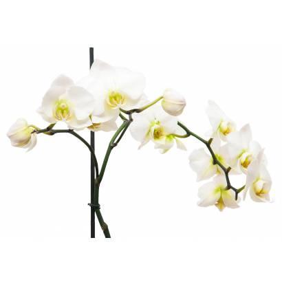 Фотообои Орхидея | арт.28437